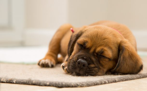 Cute sleeping puppy